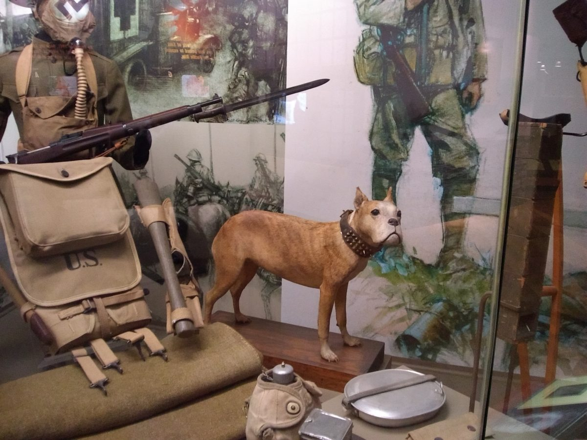 Sgt. Stubby, on display